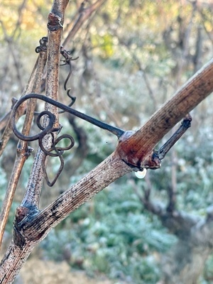 TAILLE VIGNE MOURVEDRE